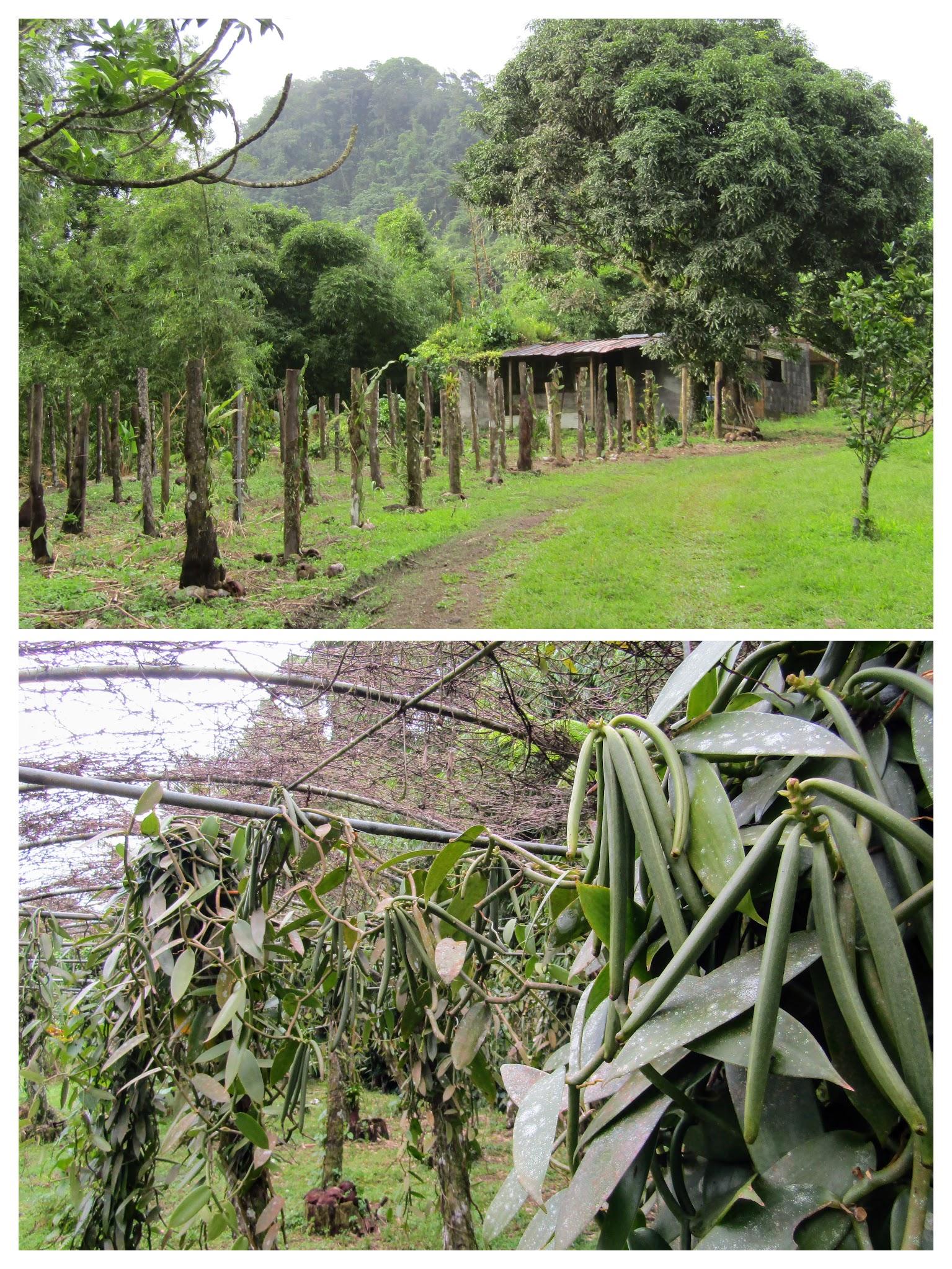 Agritourisme - Cultures de Vanille au Domaine de la Vallée Martinique