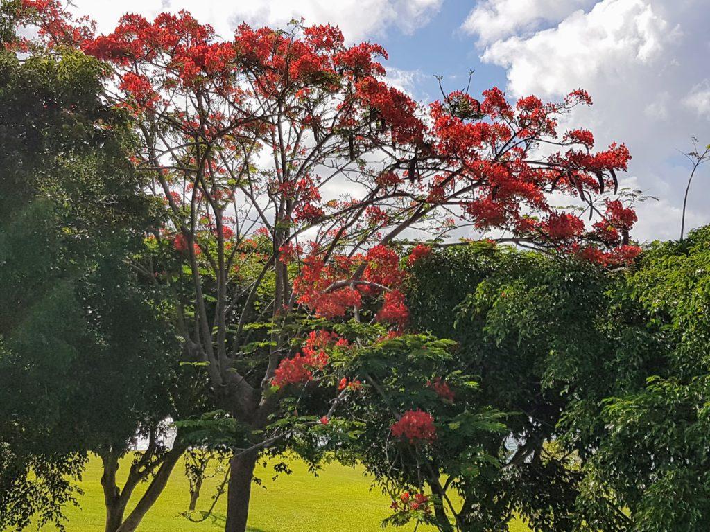Flamboyant Martinique