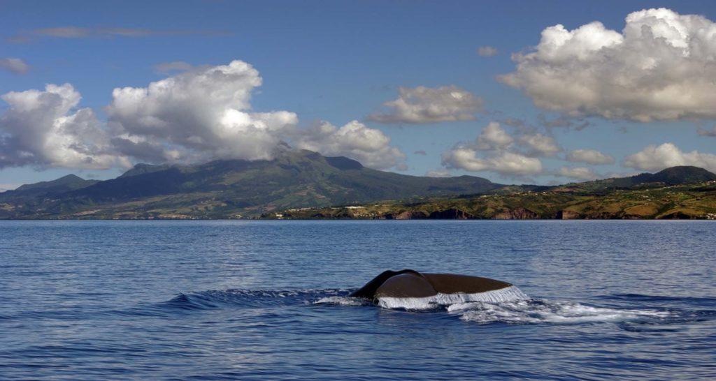Cétacés Martinique - Voyager Vrai